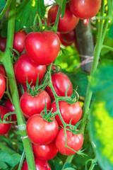 Fresh Tomatoes on a stem.