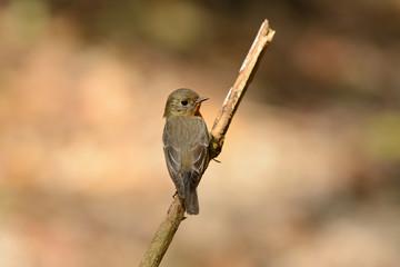 female Mugimaki Flycatcher (Ficedula mugimaki)
