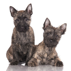 two cairn terrier puppies