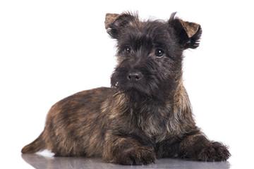 cairne terrier puppy