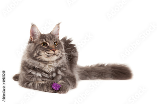 Maine coon with toy