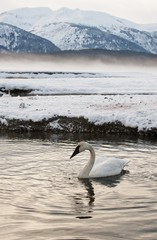 Tundra Swans (Cygnus columbianus) rest on ice covered river