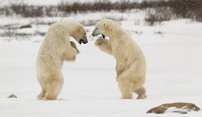 Fighting Polar Bears