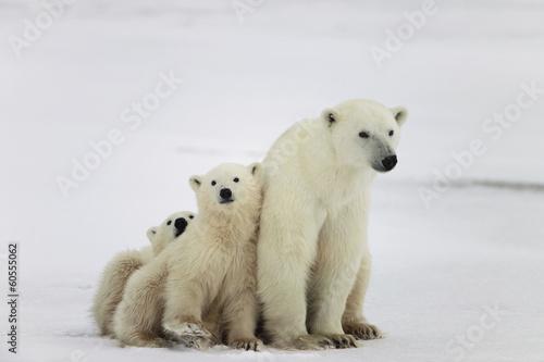 Fototapeten Eisbar Polar she-bear with cubs.