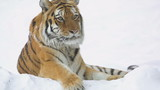 Tiger lying in the snow sits up and looks about
