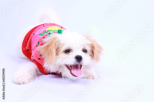 Papiers peints Porter White poodle puppy wearing a red shirt. isolated on a white back