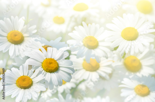Foto op Canvas Madeliefjes Beautiful background of large daisies.