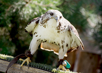 Saker falcon (Falco cherrug) watching prey