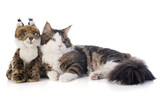maine coon cat and cuddly toy poster