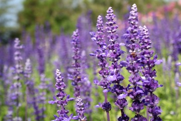 purple salvia flowers