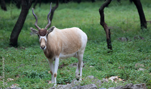 Foto op Canvas Antilope Addax, White Antelope (Addax nasomaculatus)