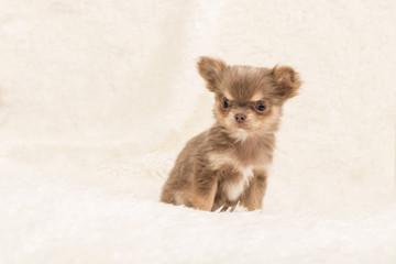 Chihuahua, Hundebaby, Welpe
