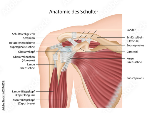 Anatomie der Schulter, Muskeln mit Erklärung deutsch