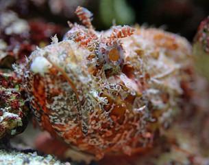 Close-up view of a Stonefish 01