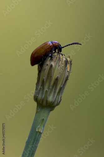 anatis coleoptera on a flower