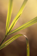 leaves of grass in backlight