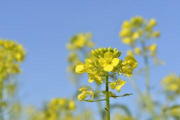 fleures de colza