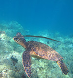 Green Sea Turtle and Cornetfish