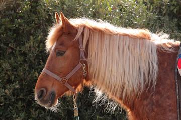 cavallo animale domestico