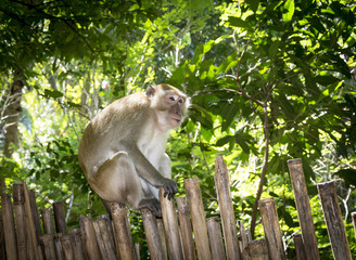 Northern pig-tailed macaque (Macaca leonina) in Thailand