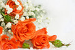 Orange roses on white background