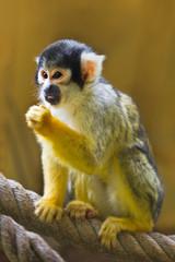 Squirrel- or Skull monkey