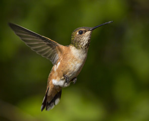 Hummingbird in natural flight