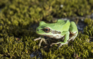 Green tree frog in moss
