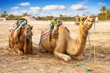 Arabian  dromedaries in Tunisia.