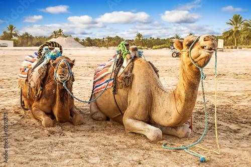 Fotobehang Tunesië Arabian dromedaries in Tunisia.