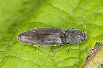 Athous haemorrhoidalis on leaf, macro photo