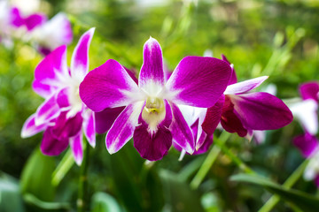Purple and white orchids blooming beautifully in the garden