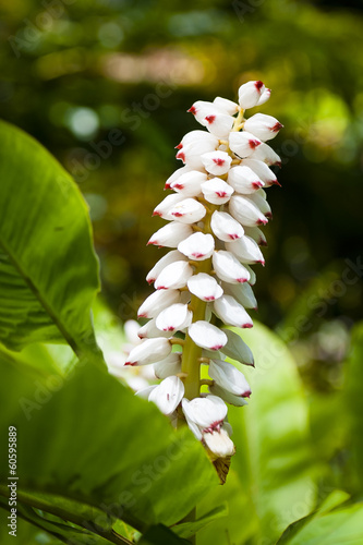 White ginger flowers with red tips