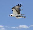 Flying Osprey Carrying A Fish