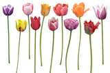 Tulips Flowers In A Row