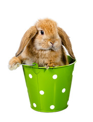 Red Rabbit in the bucket
