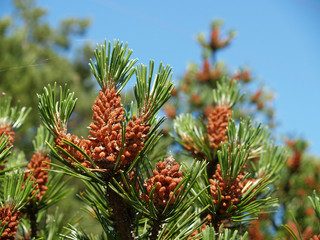 Young cones of a pine ordinary (Pinus sylvestris L. )