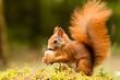 Leinwanddruck Bild - Squirrel with nut