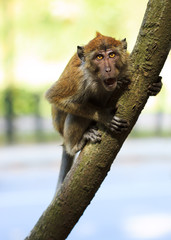 Angry Monkey sitting on a tree and growling