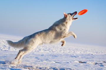 Berger Blanc Suisse Shepherd dog