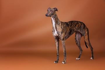 Greyhound im Studio