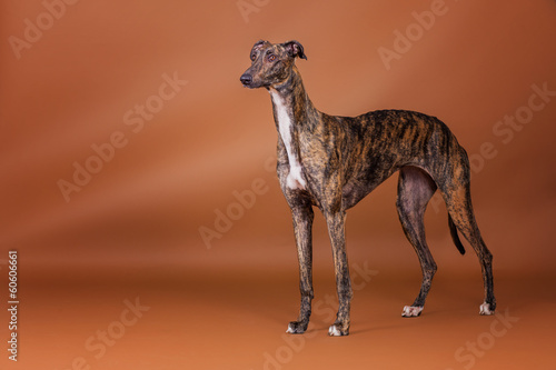 Greyhound im Studio