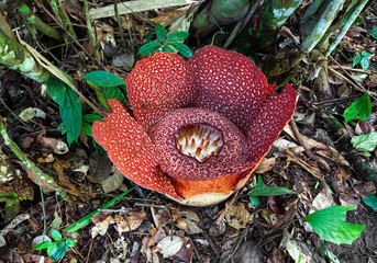 Giant Rafflesia. Largest flower in the world.