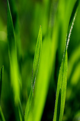 A green grass nature background with selective focus.