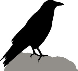 Crow on rock