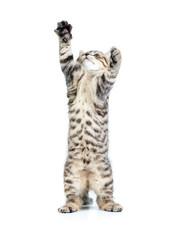 standing kitten cat