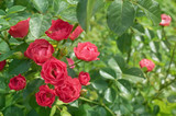 pink roses bushes in bright summer garden with