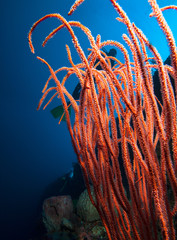 Soft coral and diver
