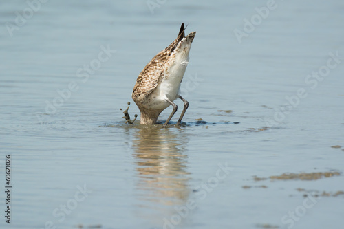 Bar-tailed Godwit slamming his head under the mud