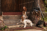 Gun dog near to shot-gun and trophies, horizontal, outdoors